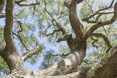 Mirada para arriba de un tronco de árbol hacia un toldo imagen de archivo libre de regalías