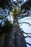Mirada para arriba de un tronco de árbol Foto de archivo