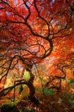 Mirada para arriba debajo del toldo de un árbol de arce japonés hermoso con las hojas rojas y anaranjadas foto de archivo