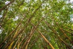 Mirada para arriba del bosque de bambú Fotos de archivo libres de regalías