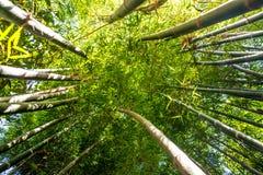 Mirada para arriba del bosque de bambú Foto de archivo