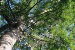 Mirada para arriba en árbol con el musgo español Foto de archivo libre de regalías