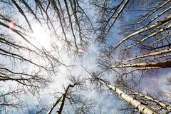 Mirada para arriba en árboles de abedul altos Fotografía de archivo libre de regalías