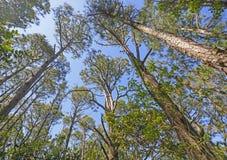 Mirada para arriba en los pinos Imagen de archivo libre de regalías