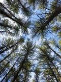Mirada para arriba en los pinos Fotografía de archivo