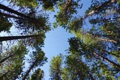 Mirada para arriba en árboles de pino Imagen de archivo libre de regalías