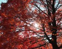 Mirada para arriba en un árbol con las hojas anaranjadas Imagen de archivo