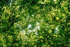 Mirada para arriba hacia ramas y hojas de árbol en el cielo del verano Imagen de archivo libre de regalías