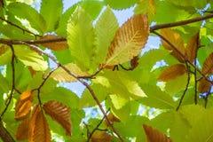 Mirada para arriba a las ramas y a las hojas de un árbol de castaña en un día soleado del otoño Foto de archivo libre de regalías