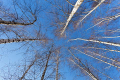 Mirada para arriba a los árboles de abedul blanco en primavera Imagenes de archivo