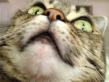 Mirada para arriba para el gatito lindo del amor Foto de archivo