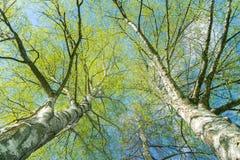 Mirada para arriba a través de árboles de abedul de plata con crecimiento de la primavera fotos de archivo
