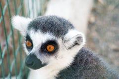 Mirada pensativa Lémur gris Imágenes de archivo libres de regalías