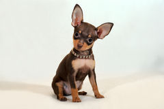 Mirada positiva - perrito más terier del juguete ruso en el fondo blanco Imágenes de archivo libres de regalías