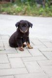 Mirada que se sienta del perrito negro a la cámara Imágenes de archivo libres de regalías