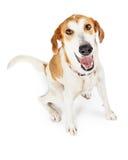 Mirada que se sienta del perro feliz del híbrido para arriba Imagen de archivo