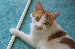 Mirada roja y blanca del gato fotografía de archivo libre de regalías
