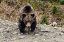 Mirada severa de un oso marrón Foto de archivo libre de regalías