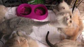 Mirada turca del gato del angora almacen de video