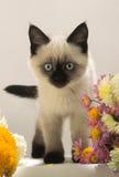 Miradas Burmese del gatito fotos de archivo