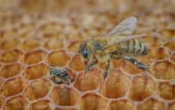 Miradas de la abeja Foto de archivo