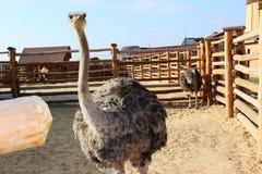 Miradas de la avestruz Foto de archivo libre de regalías