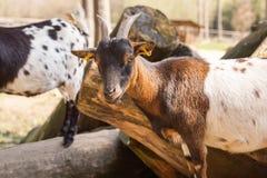 Miradas de la cabra Fotografía de archivo libre de regalías