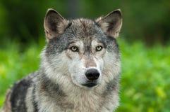 Miradas del lupus de Grey Wolf Canis hacia fuera de verde Imágenes de archivo libres de regalías