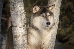 Miradas del lupus de Grey Wolf Canis hacia fuera entre los árboles Imagen de archivo libre de regalías