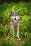 Miradas del lupus de Grey Wolf Canis hacia fuera de hierba Imágenes de archivo libres de regalías
