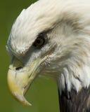Miradas fijas del águila Imagenes de archivo