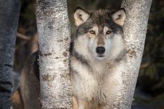 Miradas fijas del lupus de Grey Wolf Canis hacia fuera entre los árboles Foto de archivo