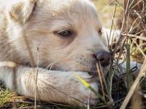 Miradas fijas del perrito Fotografía de archivo libre de regalías