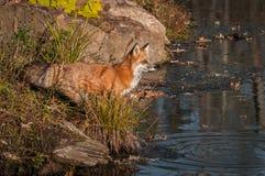 Miradas fijas del vulpes del Vulpes del Fox rojo hacia fuera con impaciencia Imagen de archivo