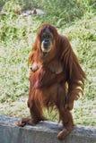 Miradas fijas femeninas de una situación del orangután imagen de archivo libre de regalías