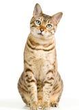 Miradas lindas del gatito de Bengala pensativamente en la cámara Imágenes de archivo libres de regalías