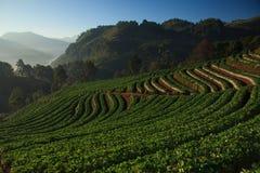 Mirakel- jordgubbefild av Thailand Royaltyfria Bilder
