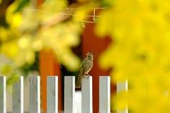 Mirakel- kanariefågelfågel Arkivfoton