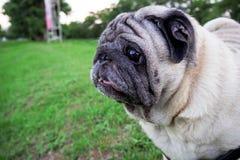 Mirakel- mopshund på grönt gräs i aftonen Arkivbilder