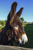 Mirandes brown donkey. Anbd blue sky Stock Photo