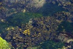 Mirando abajo en piscina de la marea con la mala hierba, el coral y las algas del mar en bajo Fotografía de archivo