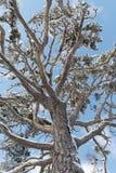 Mirando para arriba en un árbol de pino nevoso viejo, cielo azul arriba Foto de archivo libre de regalías