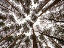 Mirando para arriba los árboles de pino ascendentes inferiores de la visión corona ramas en bosque o bosque del invierno Fotografía de archivo