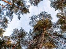 Mirando para arriba los árboles de pino ascendentes inferiores de la visión corona ramas en bosque o bosque del invierno Fotos de archivo