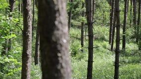 Mirando a través de árboles de pino el día soleado el tiro de la toma panorámica del bosque, ambiente natural metrajes