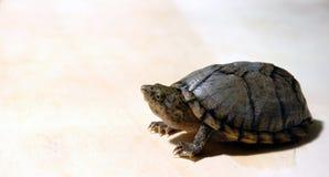 Mirar a escondidas la tortuga Imagen de archivo