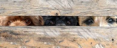 Mirar a escondidas perros Imágenes de archivo libres de regalías