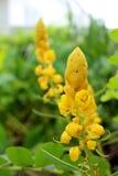 Mire al trasluz las flores de Bush, arbusto de los candelabros, arbusto de la vela imagen de archivo libre de regalías
