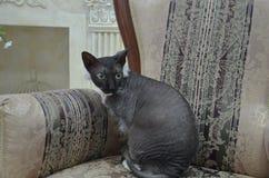 Mire de mentira - gato exótico fotografía de archivo libre de regalías
