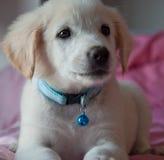 Mire de perrito de oro imagenes de archivo